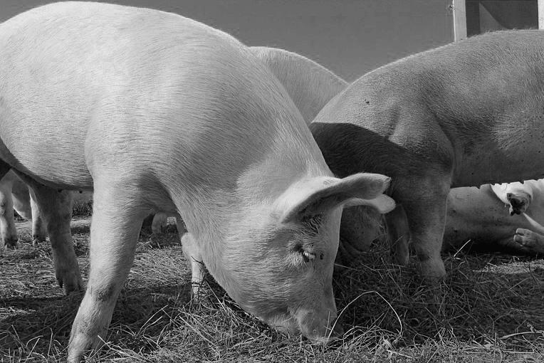 bw pig 2